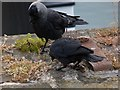 NX9718 : Feeding jackdaws, Whitehaven Harbour by Julian Osley