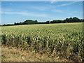 TM0783 : Wheat crop field by Crown Farm by Evelyn Simak