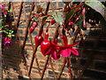 SH8076 : Fuchsia - Marinka by Richard Hoare