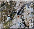 TA2372 : Puffins (Fratercula arctica), North Landing, Yorkshire by Christine Matthews