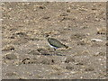 NT4147 : Lapwing [Vanellus vanellus] by M J Richardson