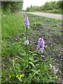 SE1802 : Orchids beside the Trans Pennine Trail by Graham Hogg