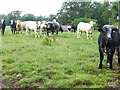 NT6232 : Curious bullocks at Magdalene Hall Farm by Oliver Dixon
