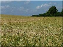 SU6230 : Tracks in a field of barley, near Old Park Wood by Christine Johnstone