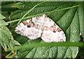 SK1283 : Carpet Moth? by Anne Burgess