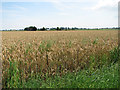 TG3919 : Wheat crop field east of Malthouse Lane by Evelyn Simak