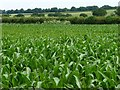 SU4941 : Maize field, north-east of Hunton Down Farm by Christine Johnstone
