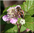 SZ5692 : Insect on Bramble Flower by Anne Burgess