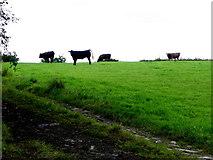 H4178 : Cows on a hill, Gortnacreagh by Kenneth  Allen