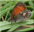 SZ3084 : Meadow Brown Butterfly (Maniola  jurtina) by Anne Burgess
