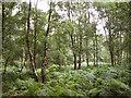 TG1721 : Birch trees and bracken on Buxton Heath by Evelyn Simak