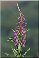 NT3929 : Rosebay willowherb at Black Andrew Wood by Walter Baxter