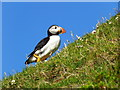 NC9265 : Puffin, climbing to its burrow by sylvia duckworth