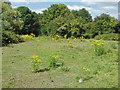 TQ0074 : Ragwort in rough pasture by Alan Hunt
