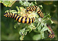 SZ3085 : Cinnabar Moth Caterpillars (Tyria jacobaeae) by Anne Burgess