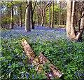 SU7782 : Beechwoods and Bluebells by Des Blenkinsopp