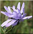NJ7650 : Common Blue Sow-thistle (Cicerbita macrophylla) by Anne Burgess
