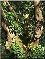 SX9150 : Sweet chestnut, Coleton Fishacre by Derek Harper