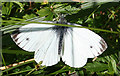 NJ7747 : Green-veined White Butterfly (Pieris napi) by Anne Burgess