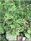 SP9314 : Burdock at College Lake Nature Reserve, near Tring by Chris Reynolds