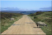 SE7294 : Moorland sheep by Pauline E