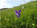 NS5477 : Wild Pansy by Lairich Rig