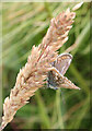 NJ8267 : Common Blue Butterfly (Polyommatus icarus) by Anne Burgess