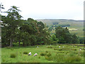 NY6949 : Belt of trees above Dyke House by Oliver Dixon