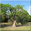 TQ2782 : Twisted Tree, Regent's Park by Free Man