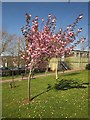 SX8965 : Cherry tree, Torbay Hospital by Derek Harper