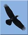 NT3124 : A raven (Corvus corax) at Eldinhope Knowe by Walter Baxter