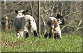 SX7759 : Back end of two lambs, Tristford House by Derek Harper
