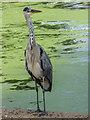 TQ2782 : Grey Heron (Ardea cinerea), Regents Park, London by Christine Matthews