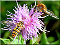 J4272 : Flower and insects, Dundonald (August 2014) by Albert Bridge