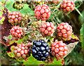 J4371 : Blackberries, Comber Greenway - August 2014(1) by Albert Bridge