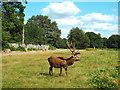TQ1872 : Deer in Richmond Park by Malc McDonald