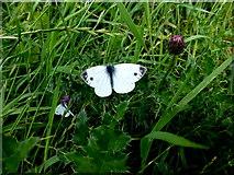 D0444 : Blue-veined butterfly, Ballintoy by Kenneth  Allen