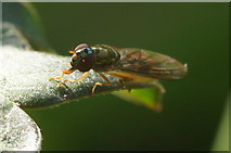 SJ3999 : The hoverfly Melanostoma scalare, Melling by Mike Pennington