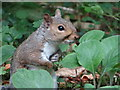 SX5149 : Grey Squirrel by Debbie J