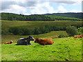 NM8700 : Cattle in Clachandubh Glen by sylvia duckworth