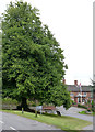 SK7267 : Jubilee lime tree, Laxton by Alan Murray-Rust