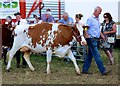 SJ7177 : Show cattle 3 by Anthony O'Neil