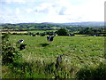 H4180 : Cows, Gortinagin by Kenneth  Allen