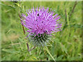 SK8839 : Thistle at A1 Service Area, Grantham, Lincolnshire by Christine Matthews