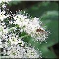 SE8991 : Hoverfly feeding by Pauline E