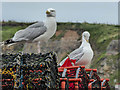 NZ8911 : Herring Gulls on Harbourside, Whitby by Christine Matthews