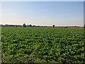 TL5066 : Sugar beet crop, by Waterbeach Barracks by Hugh Venables