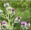 SP9210 : Spear Thistle (Cirsium vulgare), Tring Park by Rob Farrow