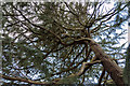 TQ2687 : Cedar of Lebanon, Parkland, Kenwood, Hampstead, London NW3 by Christine Matthews