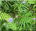 NZ8514 : Devil's bit scabious by Pauline E